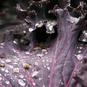 Benefits of Purple Cabbage